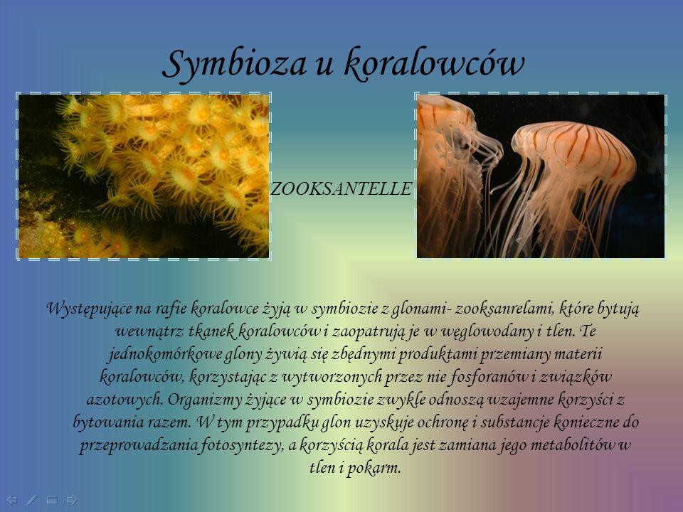 Symbioza u koralowców ZOOKSANTELLE
