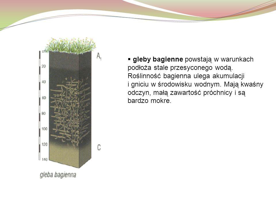 gleby bagienne powstają w warunkach podłoża stale przesyconego wodą
