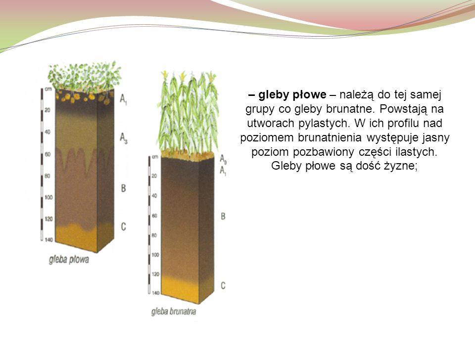 – gleby płowe – należą do tej samej grupy co gleby brunatne