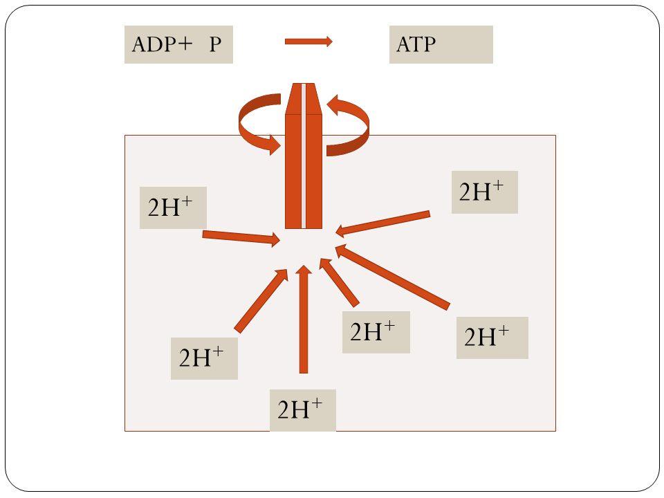 ADP+ P ATP 2H+ 2H+ 2H+ 2H+ 2H+ 2H+