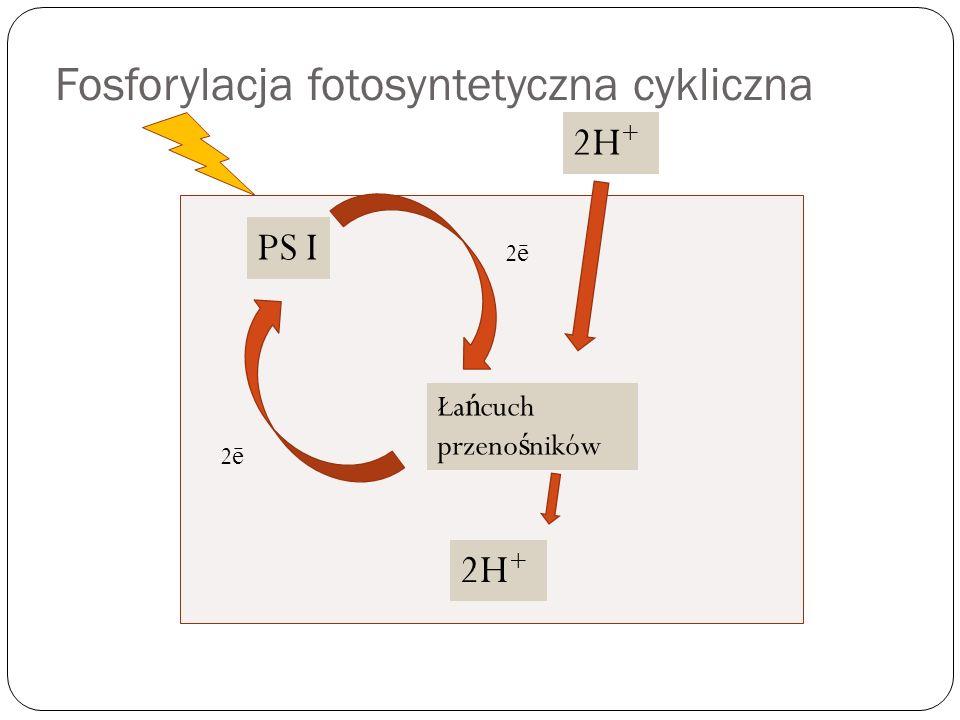 Fosforylacja fotosyntetyczna cykliczna