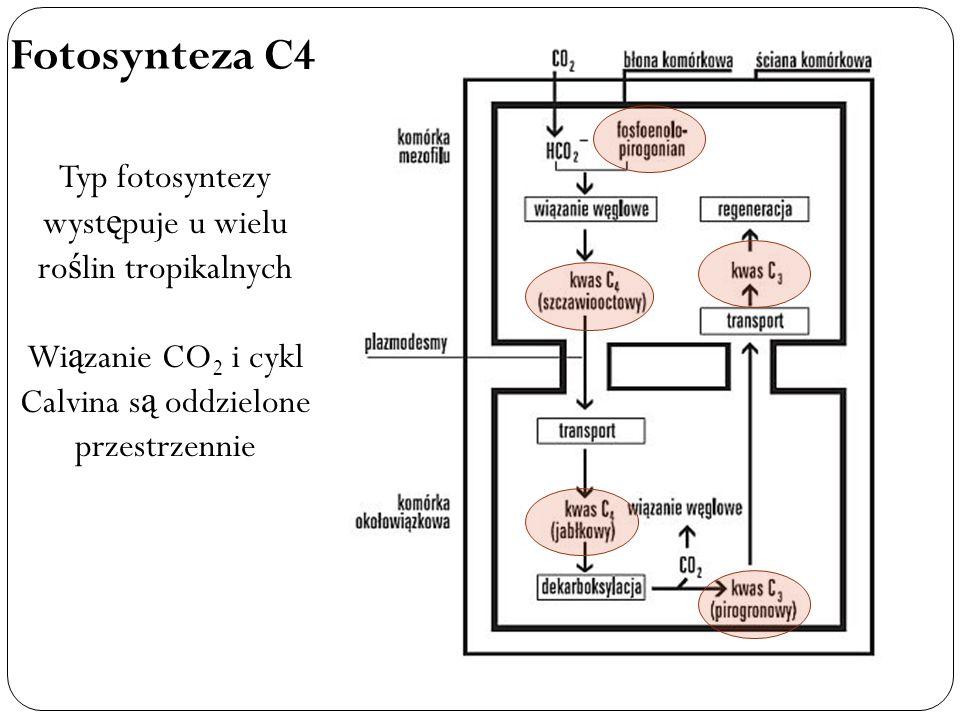 Fotosynteza C4 Typ fotosyntezy występuje u wielu roślin tropikalnych