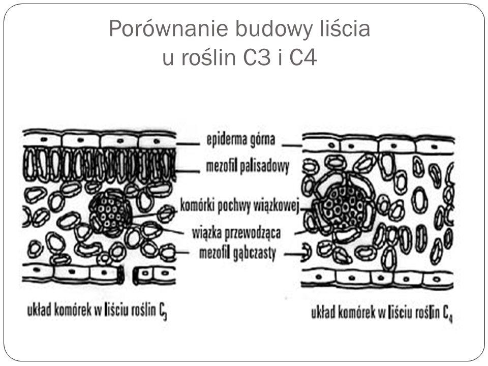 Porównanie budowy liścia u roślin C3 i C4