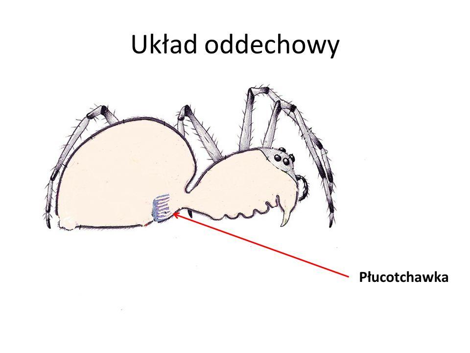 Układ oddechowy Płucotchawka