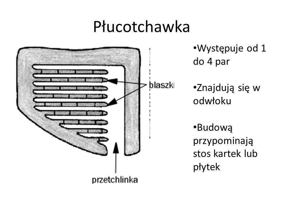 Płucotchawka Występuje od 1 do 4 par Znajdują się w odwłoku