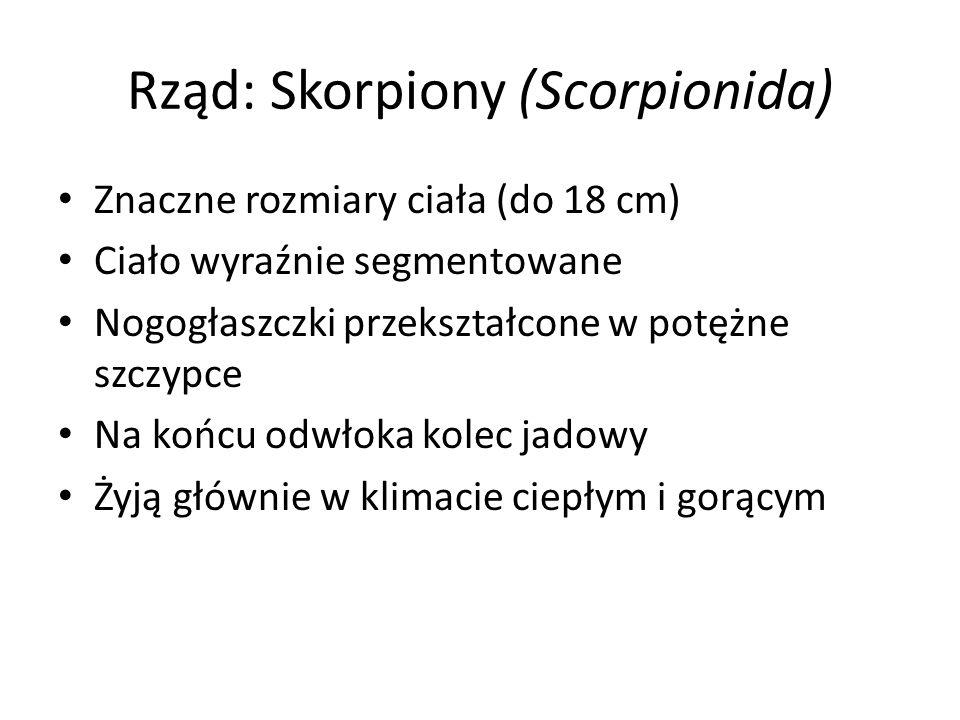 Rząd: Skorpiony (Scorpionida)