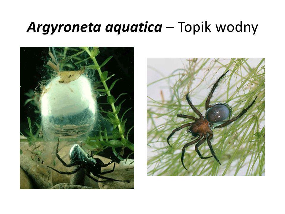 Argyroneta aquatica – Topik wodny