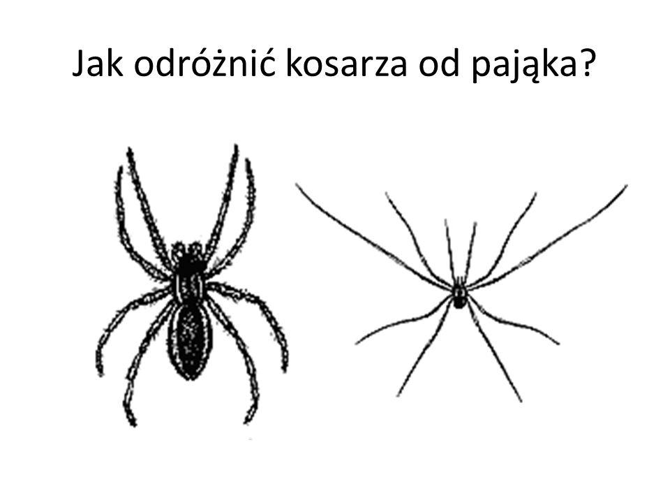 Jak odróżnić kosarza od pająka