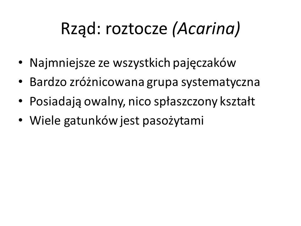 Rząd: roztocze (Acarina)