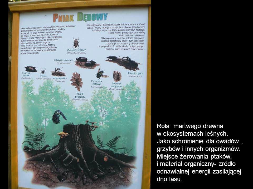 Rola martwego drewna w ekosystemach leśnych. Jako schronienie dla owadów , grzybów i innych organizmów.