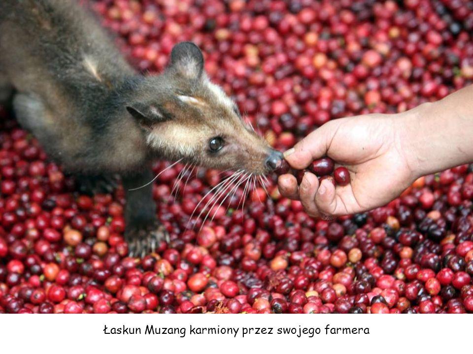 Łaskun Muzang karmiony przez swojego farmera