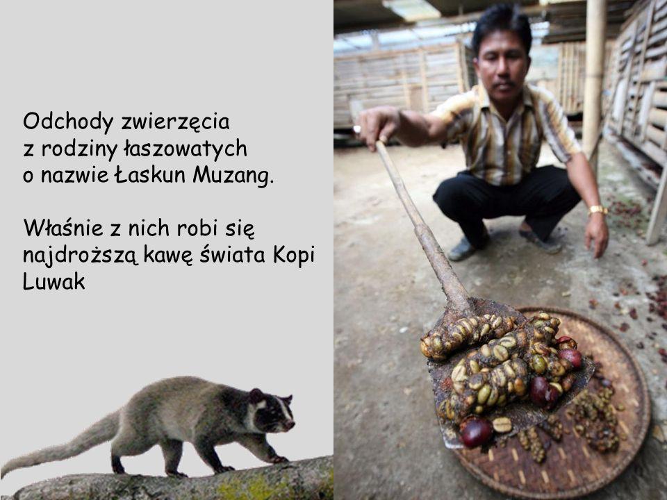 Odchody zwierzęcia z rodziny łaszowatych. o nazwie Łaskun Muzang.