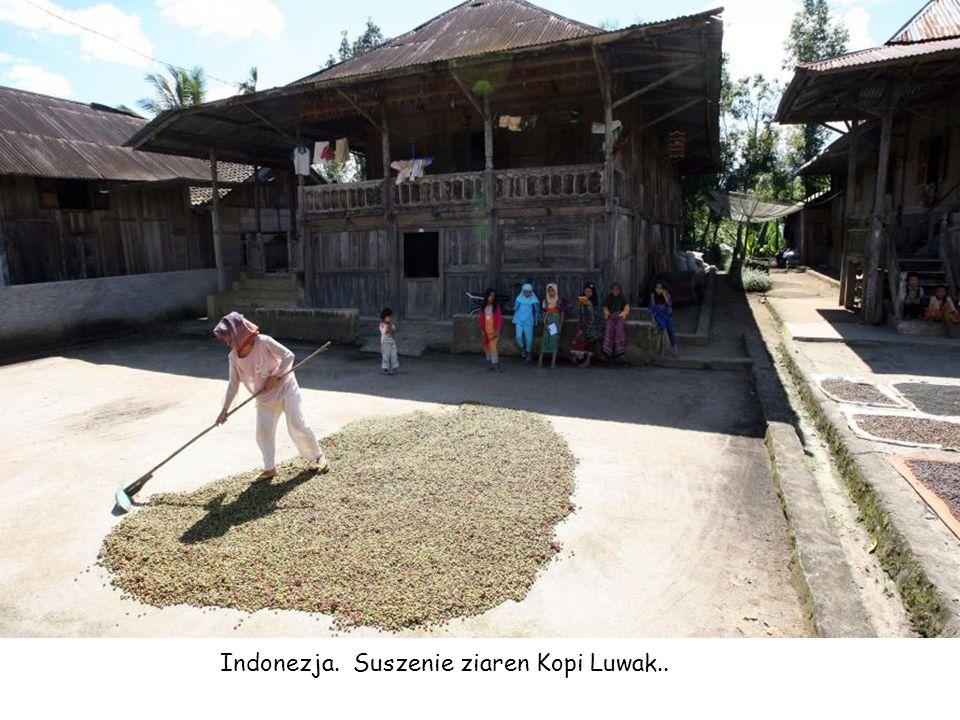 Indonezja. Suszenie ziaren Kopi Luwak..