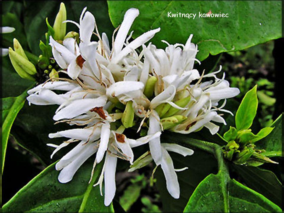 Kwitnący kawowiec