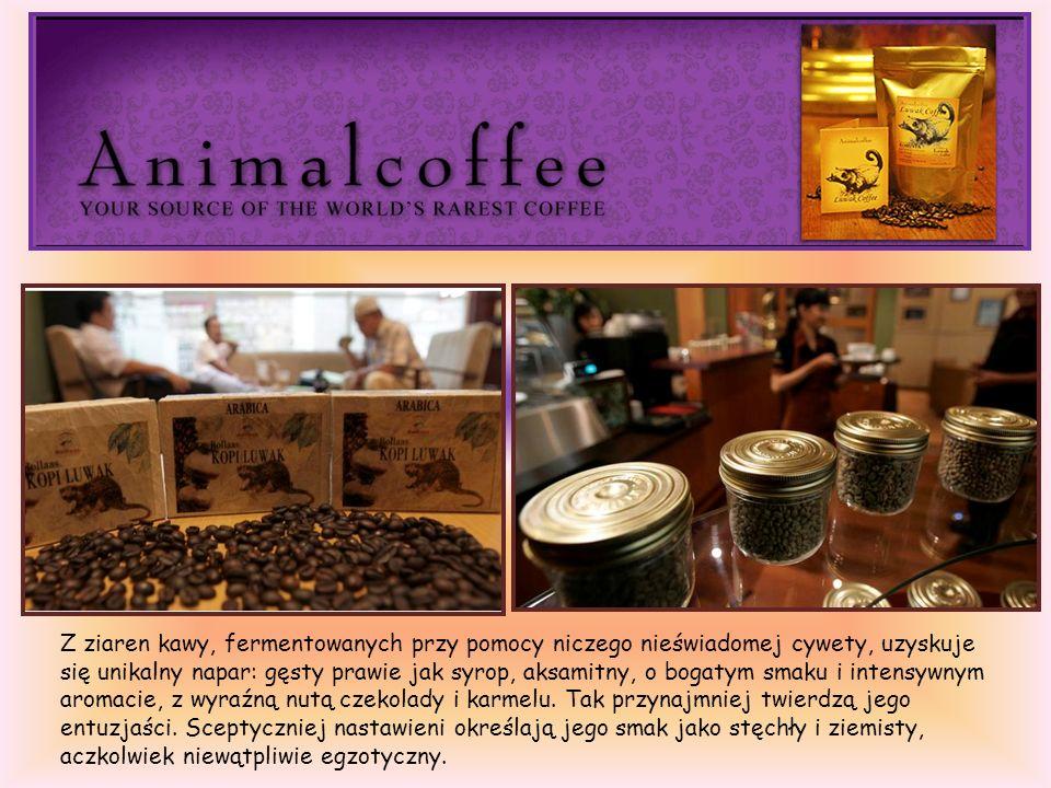 Z ziaren kawy, fermentowanych przy pomocy niczego nieświadomej cywety, uzyskuje