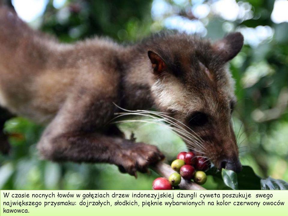 W czasie nocnych łowów w gałęziach drzew indonezyjskiej dżungli cyweta poszukuje swego największego przysmaku: dojrzałych, słodkich, pięknie wybarwionych na kolor czerwony owoców kawowca.