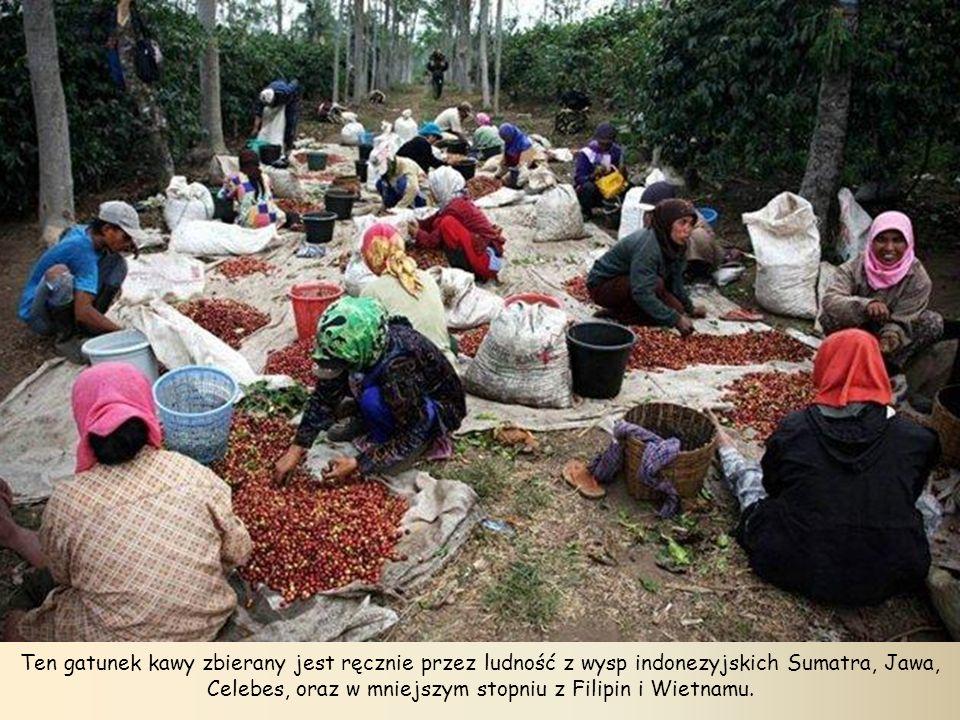 Ten gatunek kawy zbierany jest ręcznie przez ludność z wysp indonezyjskich Sumatra, Jawa, Celebes, oraz w mniejszym stopniu z Filipin i Wietnamu.