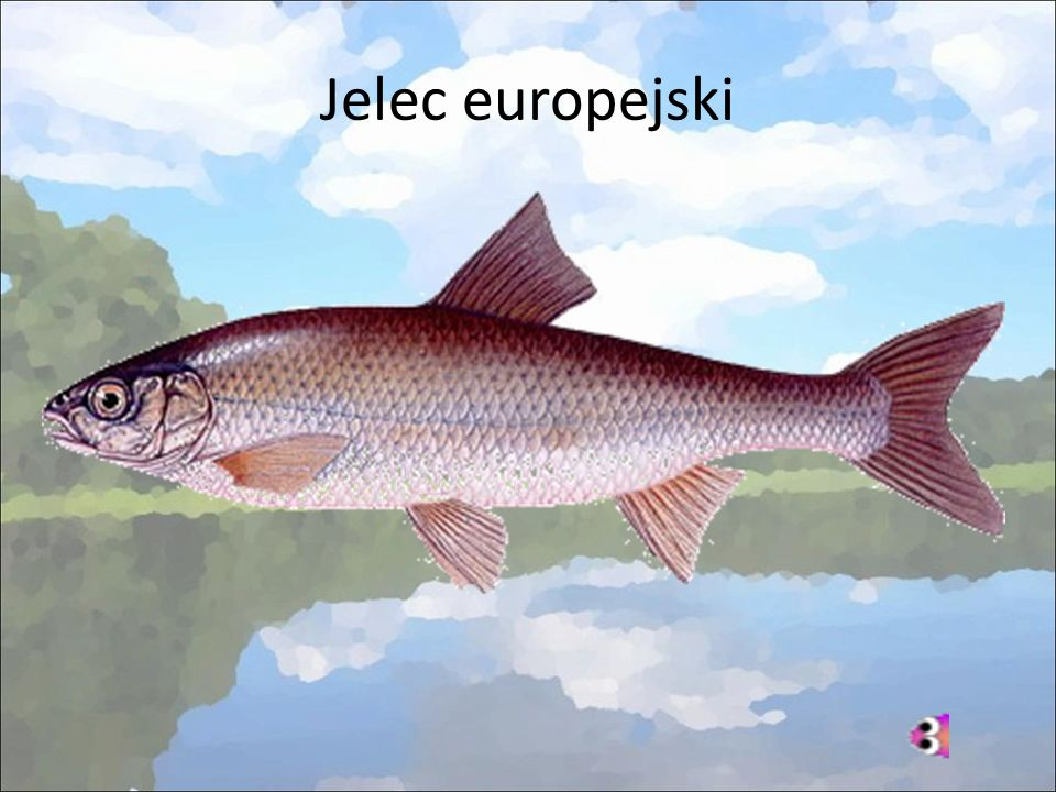 Jelec europejski