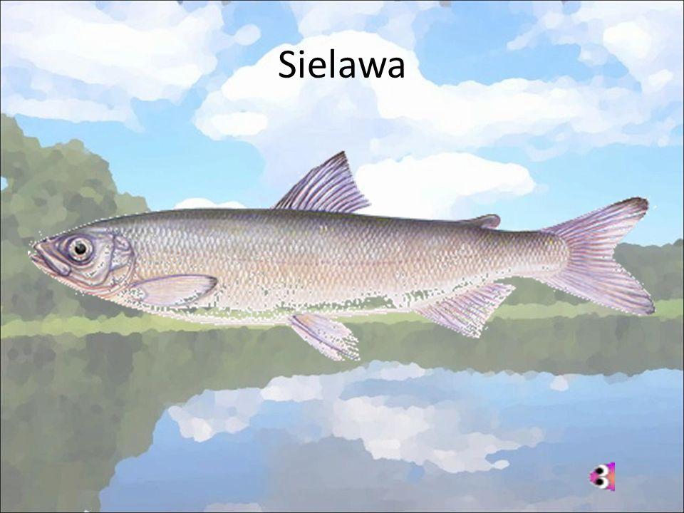 Sielawa