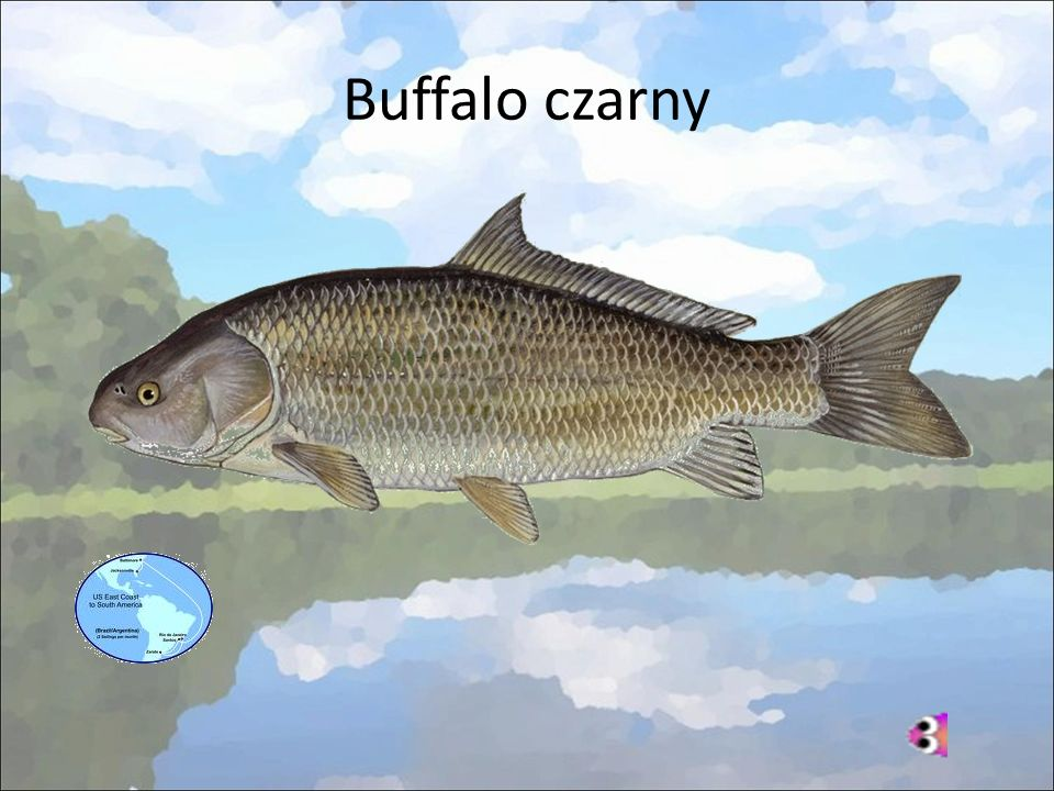 Buffalo czarny