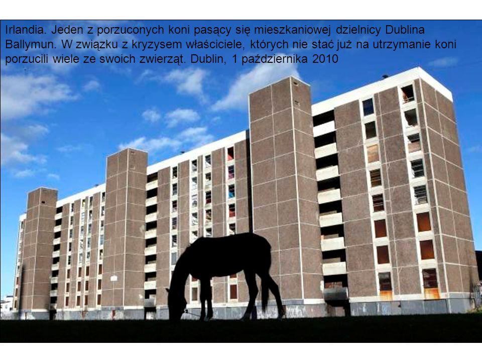 Irlandia. Jeden z porzuconych koni pasący się mieszkaniowej dzielnicy Dublina Ballymun.