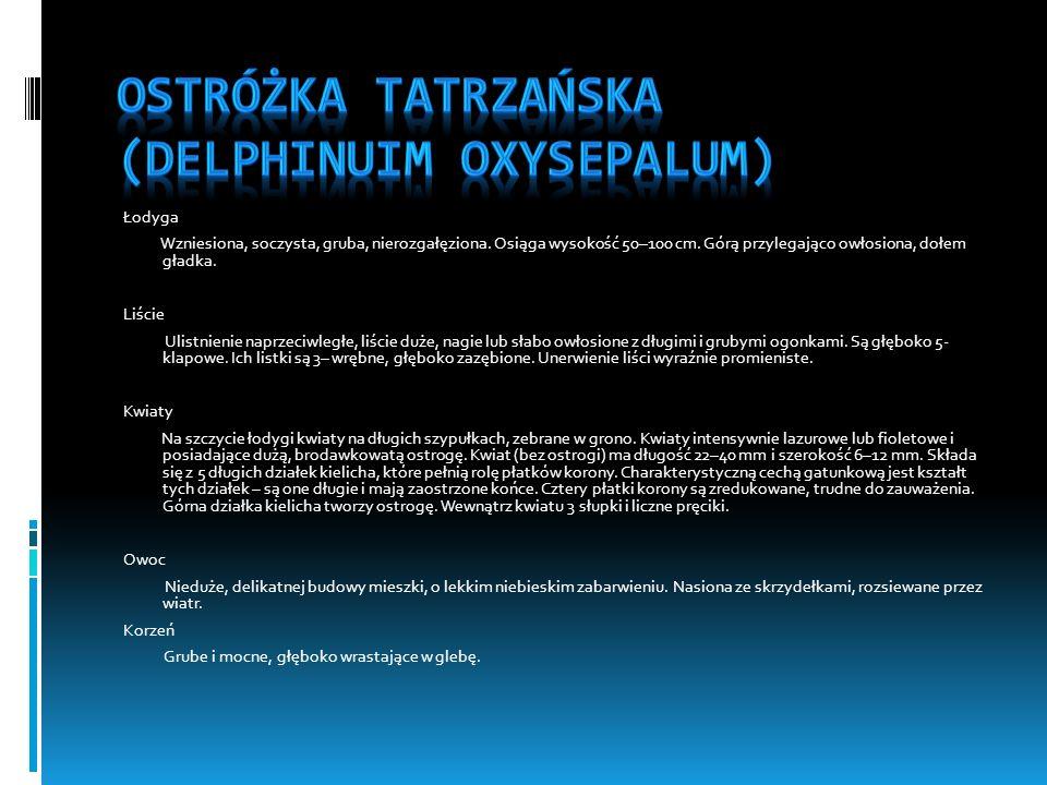 Ostróżka tatrzańska (Delphinuim oxysepalum)