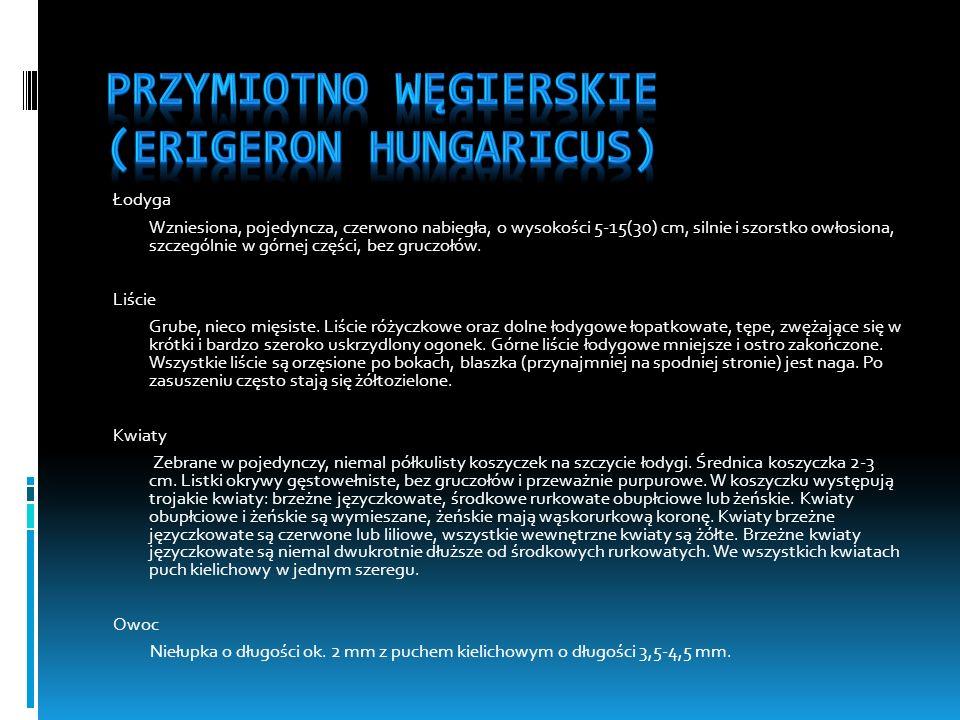 Przymiotno węgierskie (Erigeron hungaricus)
