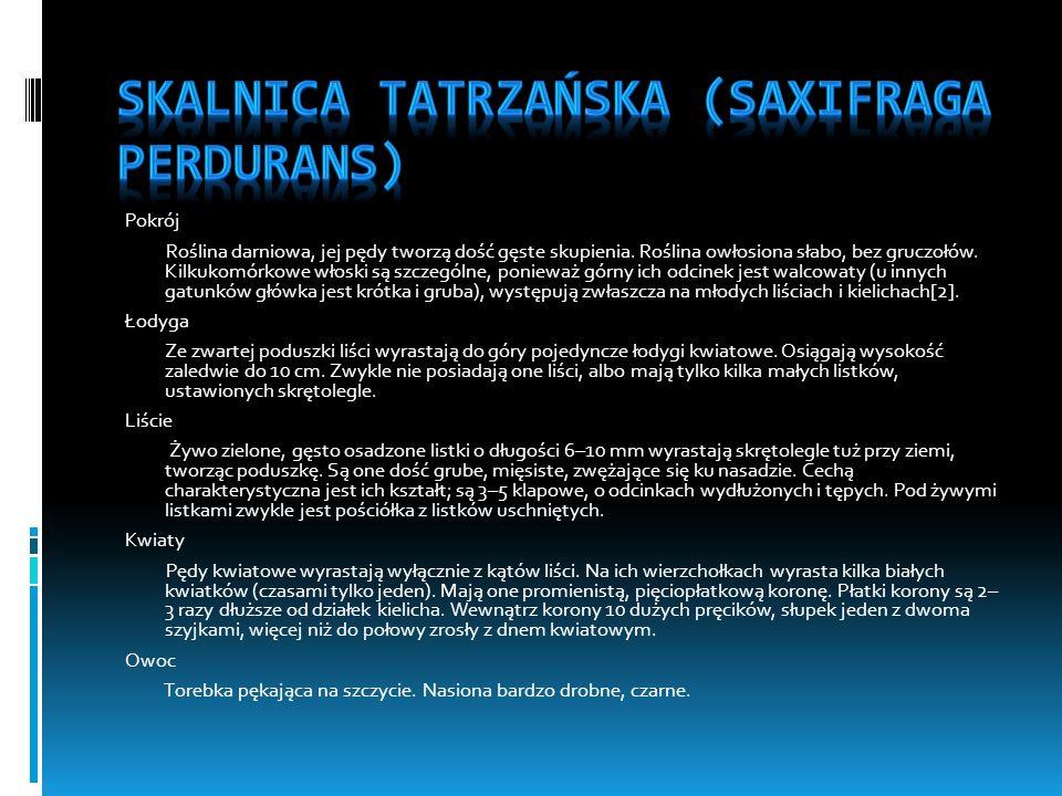 Skalnica tatrzańska (Saxifraga perdurans)
