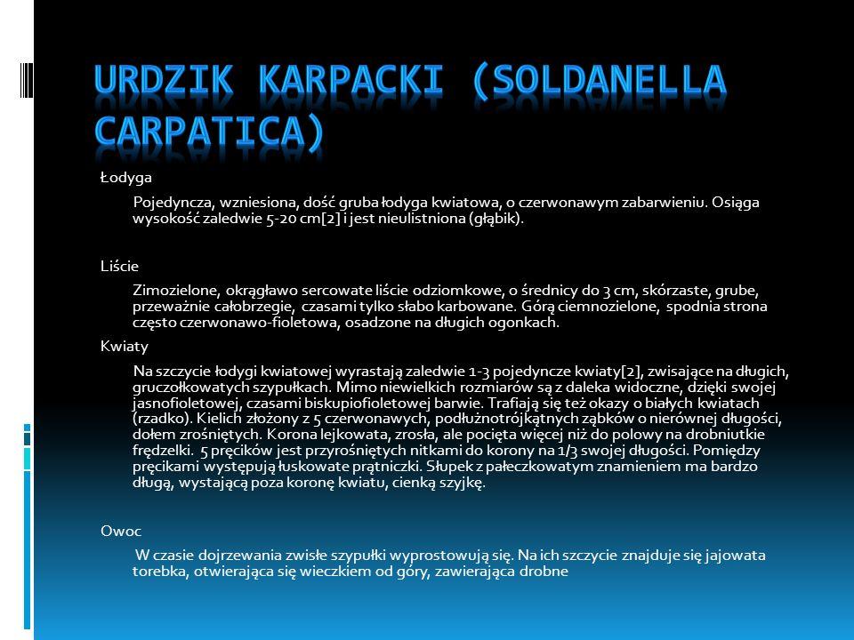 Urdzik karpacki (Soldanella carpatica)