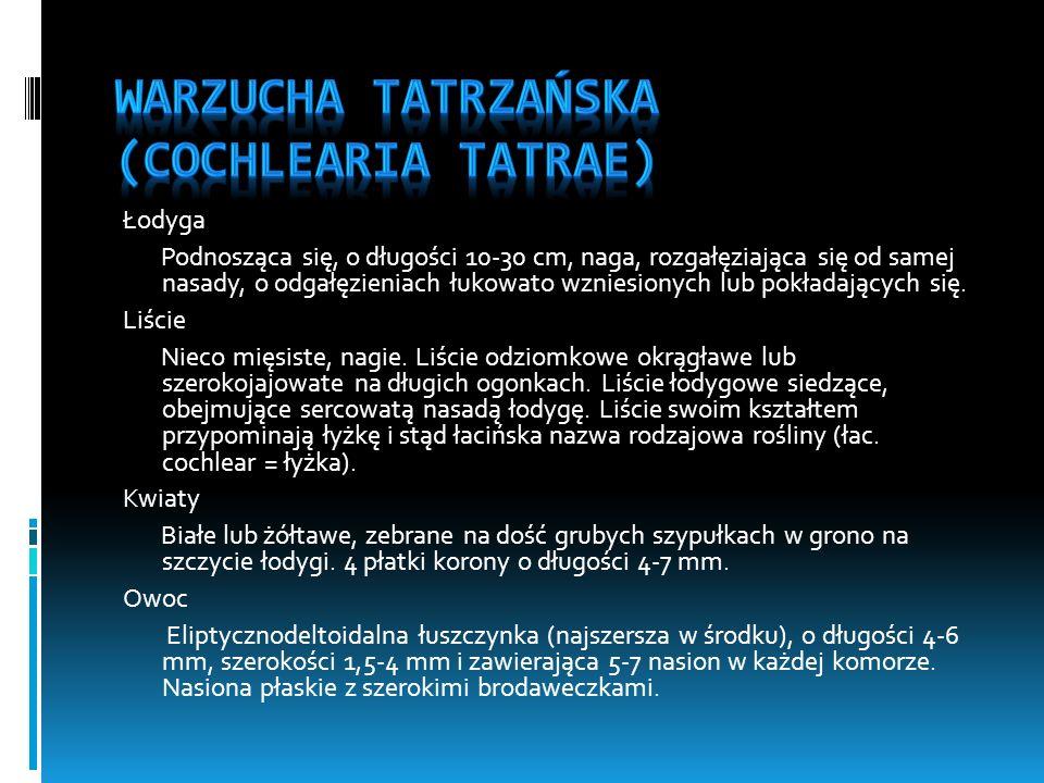Warzucha tatrzańska (Cochlearia tatrae)