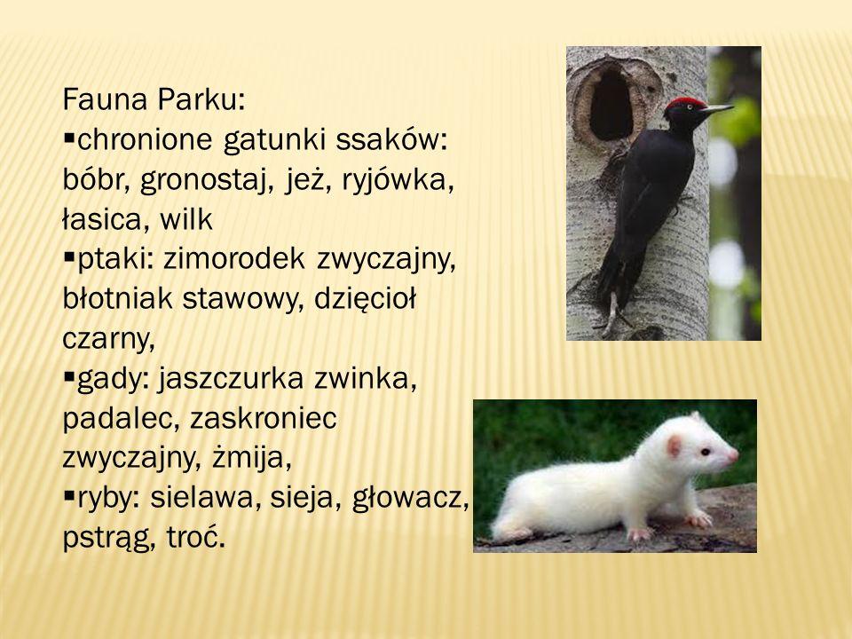 Fauna Parku: chronione gatunki ssaków: bóbr, gronostaj, jeż, ryjówka, łasica, wilk. ptaki: zimorodek zwyczajny, błotniak stawowy, dzięcioł czarny,