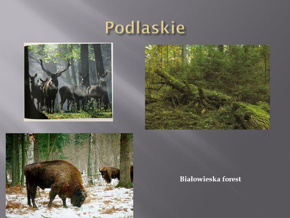 Podlaskie Białowieska forest