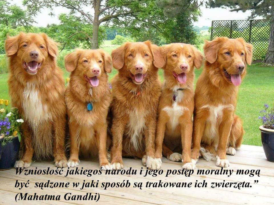 Wzniosłość jakiegoś narodu i jego postęp moralny mogą być sądzone w jaki sposób są trakowane ich zwierzęta. (Mahatma Gandhi)