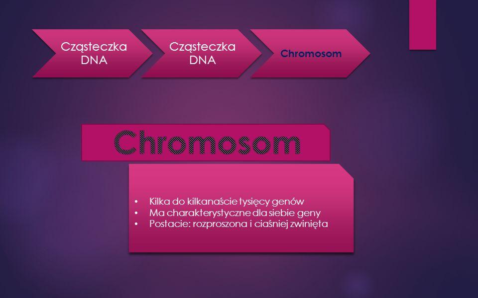 Chromosom Cząsteczka DNA Chromosom Kilka do kilkanaście tysięcy genów
