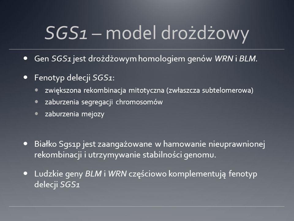 SGS1 – model drożdżowy Gen SGS1 jest drożdżowym homologiem genów WRN i BLM. Fenotyp delecji SGS1: