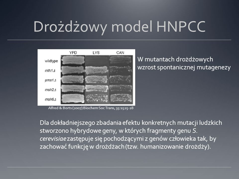Drożdżowy model HNPCC W mutantach drożdżowych wzrost spontanicznej mutagenezy. Alfred & Borts (2007) Biochem Soc Trans, 35:1525-28.