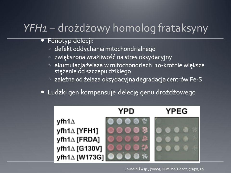 YFH1 – drożdżowy homolog frataksyny