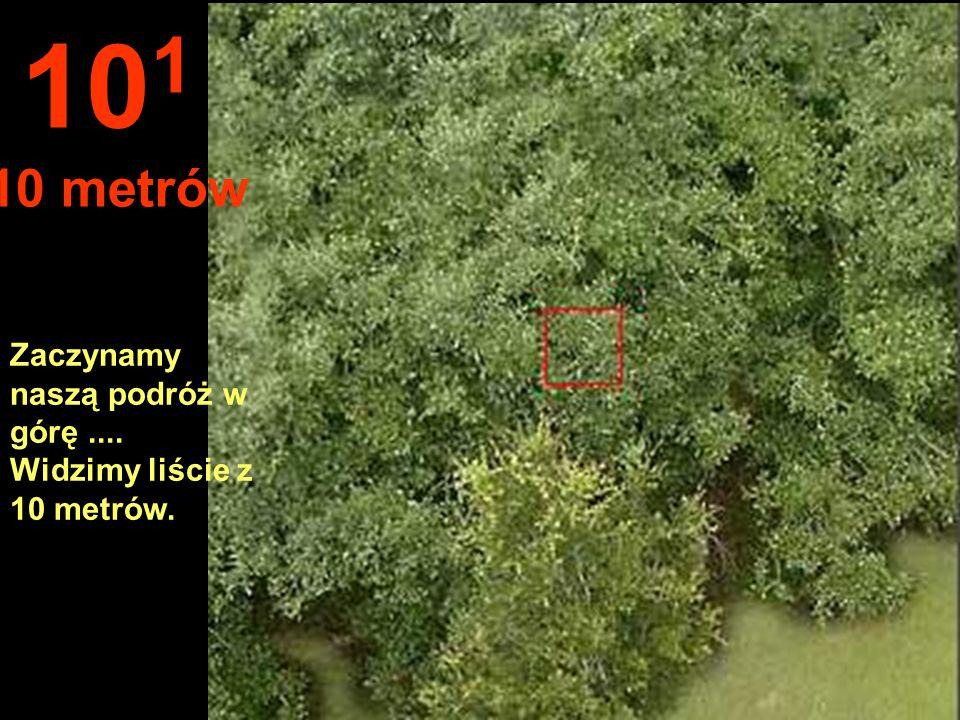 101 10 metrów Zaczynamy naszą podróż w górę .... Widzimy liście z 10 metrów.