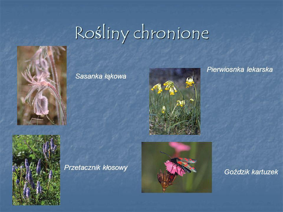 Rośliny chronione Pierwiosnka lekarska Sasanka łąkowa