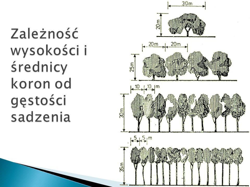 Zależność wysokości i średnicy koron od gęstości sadzenia