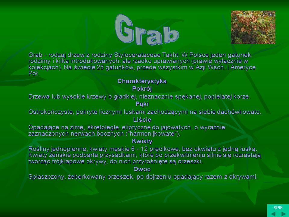 Grab Charakterystyka Pokrój