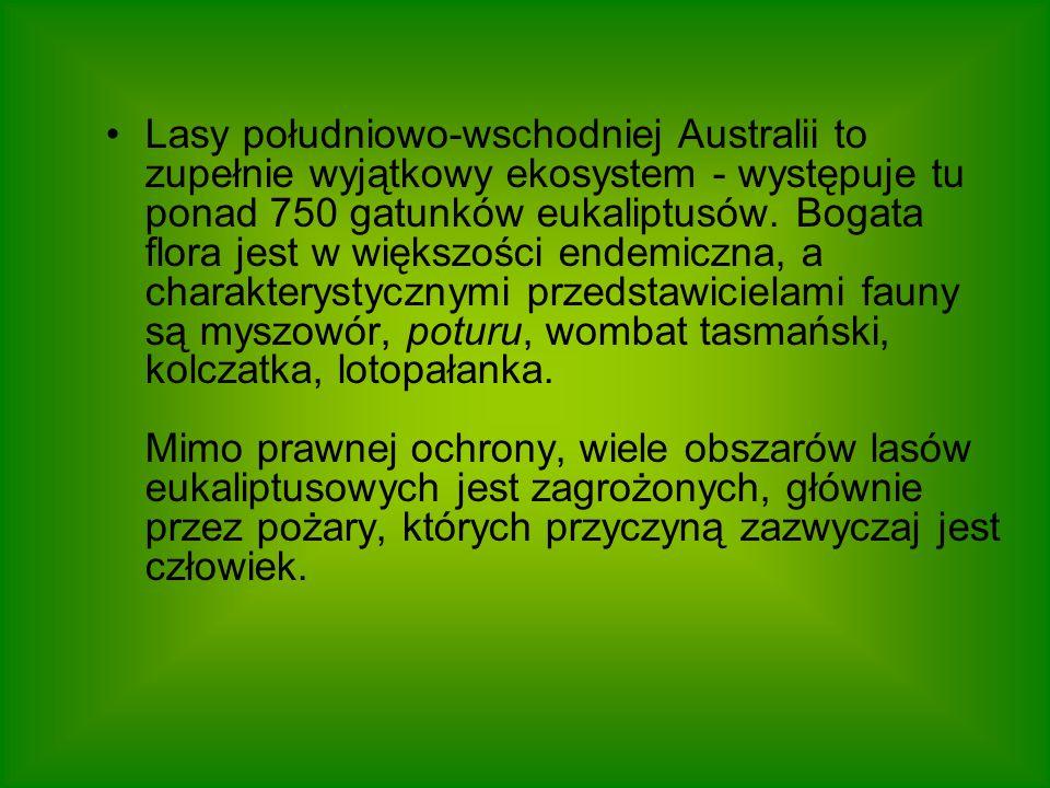 Lasy południowo-wschodniej Australii to zupełnie wyjątkowy ekosystem - występuje tu ponad 750 gatunków eukaliptusów.