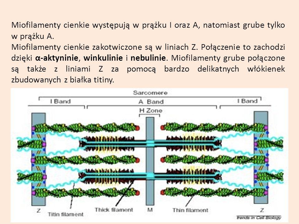 Miofilamenty cienkie występują w prążku I oraz A, natomiast grube tylko w prążku A.