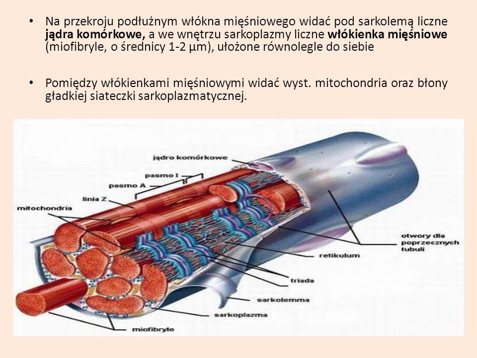 Na przekroju podłużnym włókna mięśniowego widać pod sarkolemą liczne jądra komórkowe, a we wnętrzu sarkoplazmy liczne włókienka mięśniowe (miofibryle, o średnicy 1-2 µm), ułożone równolegle do siebie