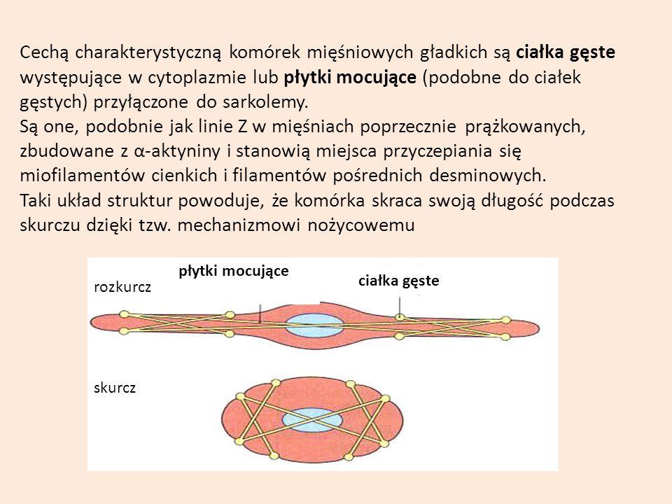 Cechą charakterystyczną komórek mięśniowych gładkich są ciałka gęste występujące w cytoplazmie lub płytki mocujące (podobne do ciałek gęstych) przyłączone do sarkolemy.