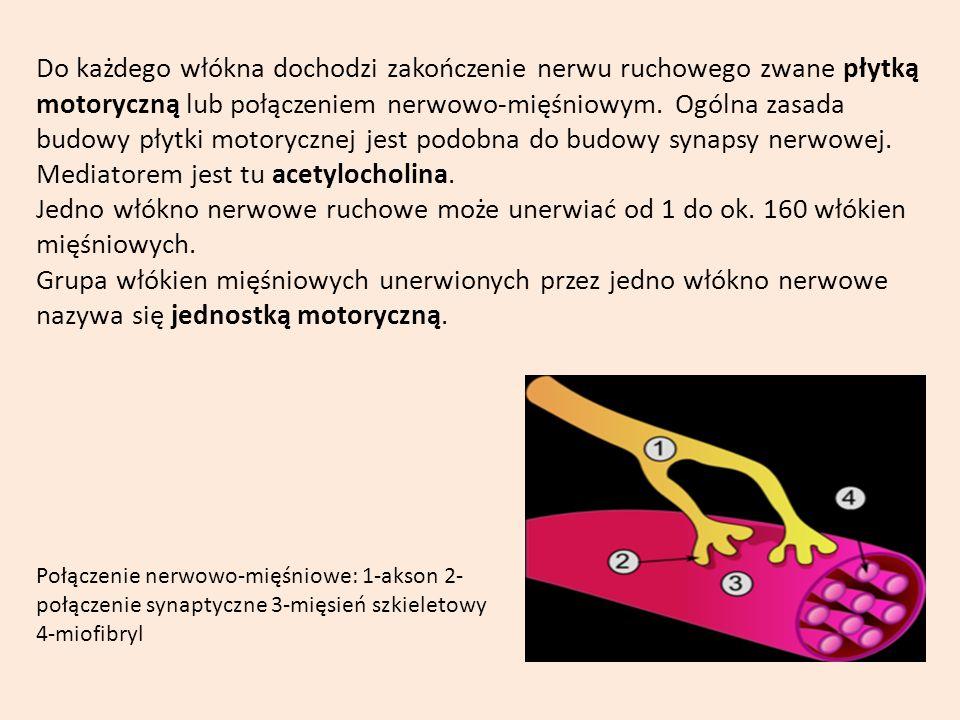 Do każdego włókna dochodzi zakończenie nerwu ruchowego zwane płytką motoryczną lub połączeniem nerwowo-mięśniowym. Ogólna zasada budowy płytki motorycznej jest podobna do budowy synapsy nerwowej. Mediatorem jest tu acetylocholina.