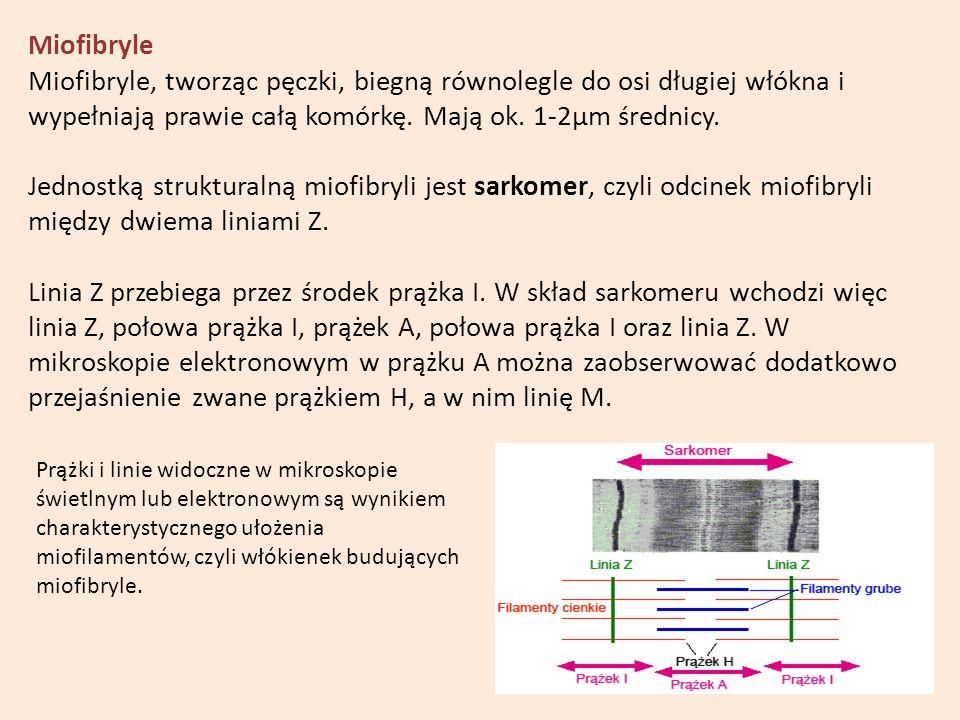 Miofibryle Miofibryle, tworząc pęczki, biegną równolegle do osi długiej włókna i wypełniają prawie całą komórkę. Mają ok. 1-2µm średnicy.
