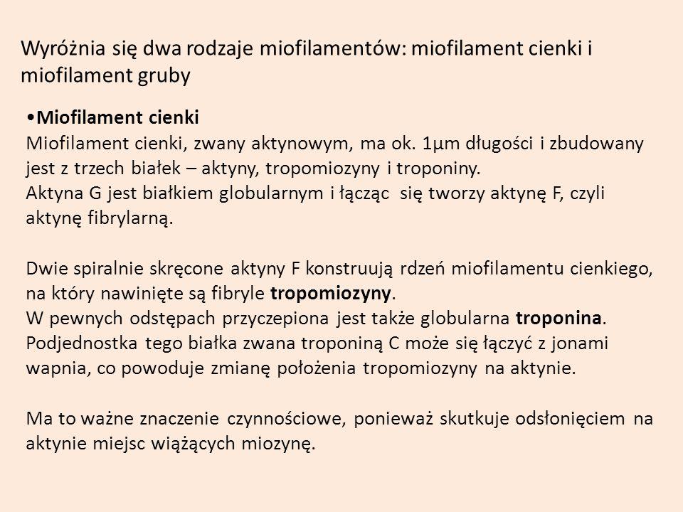 Wyróżnia się dwa rodzaje miofilamentów: miofilament cienki i miofilament gruby