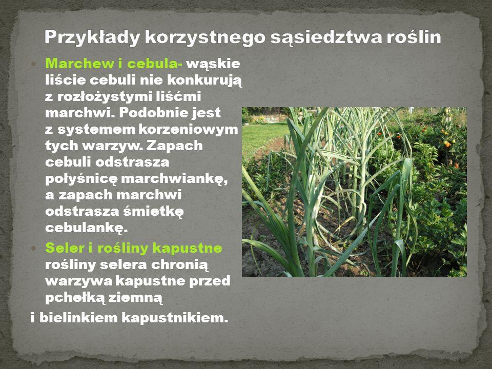 Przykłady korzystnego sąsiedztwa roślin