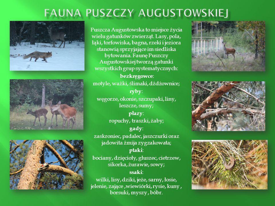 Fauna Puszczy Augustowskiej